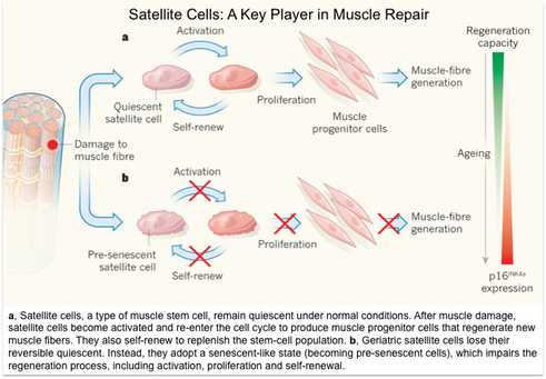 a, Satellite cells, a type of muscle stem cell, remain quiescent under normal conditions. After muscle damage, satellite cells become activated and re-enter the cell cycle to produce muscle progenitor cells that regenerate new muscle fibers. They also self-renew to replenish the stem-cell population. b, Geriatric satellite cells lose their reversible quiescent. Instead, they adopt a senescent-like state (becoming pre-senescent cells), which impairs the regeneration process, including activation, proliferation and self-renewal.