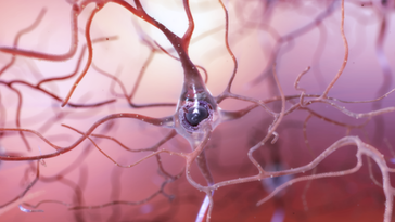 Neurogenesis in the brain occurs from exercise.