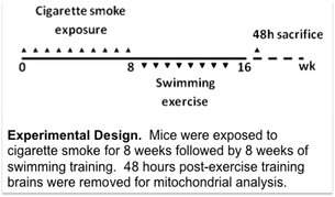 Experimental Design.  Mice were exposed to cigarette smoke for 8 weeks followed by 8 weeks of swimming training.  48 hours post-exercise training brains were removed for mitochondrial analysis.