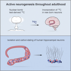 human hippocampal neurogenesis using radioactive carbon labeling from nuclear testing