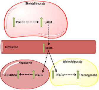 the physiological role of BAIBA in response to exercise