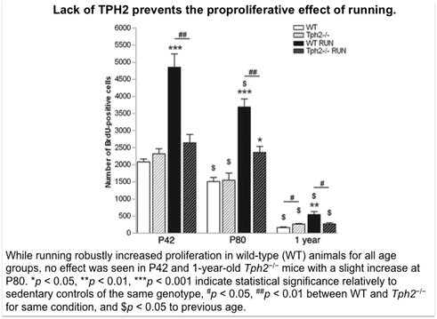 Lack of serotonin prevents the neurogenesis proliferation effect of running.