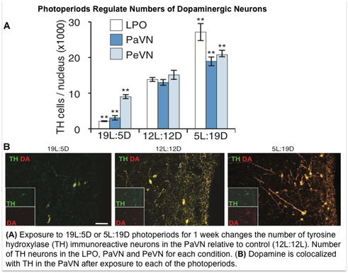 Exposure to 19L:5D or 5L:19D photoperiods for 1 week changes the number of tyrosine hydroxylase (TH) immunoreactive neurons in the PaVN relative to control (12L:12L). Number of TH neurons in the LPO, PaVN and PeVN for each condition. (B) Dopamine is colocalized with TH in the PaVN after exposure to each of the photoperiods.