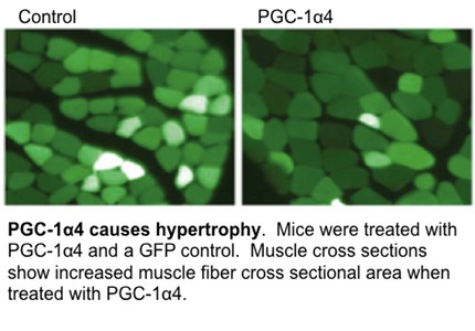 PGC-1alpa4 causes hypertrophy.  This image shows a PGC-1alpha4 mediated increase in muscle cross sectional area.