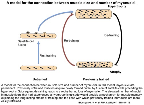 A model for the connection between muscle size and number of myonuclei. In this model, myonuclei are permanent. Previously untrained muscles acquire newly formed nuclei by fusion of satellite cells preceding the hypertrophy. Subsequent detraining leads to atrophy but no loss of myonuclei. The elevated number of nuclei in muscle fibers that had experienced a hypertrophic episode would provide a mechanism for muscle memory, explaining the long-lasting effects of training and the ease with which previously trained individuals are more easily retrained.