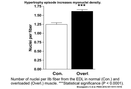 Number of nuclei per IIb fiber from the EDL in normal (Con.) and overloaded (Overl.) muscle. ***Statistical significance (P < 0.0001).