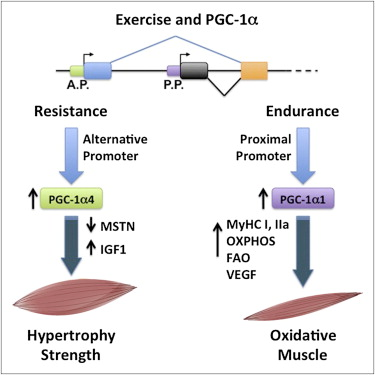 A model for how exercise via resistance training or endurance training causes an adaptive response through PGC-1alpha