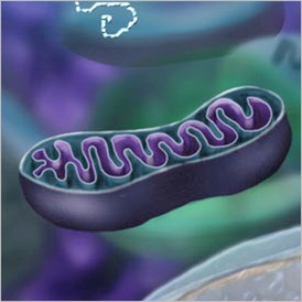 Mitochondria in the brain.